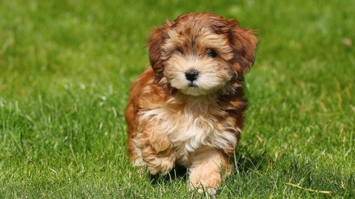 What Is A Havanese Puppy Cut Reference Com