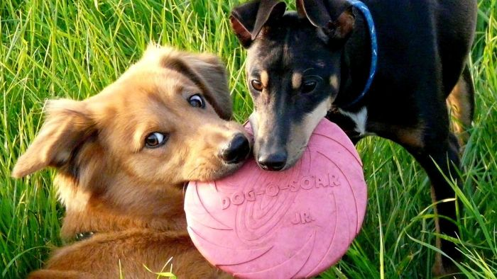 Are heartworms contagious to other dogs?