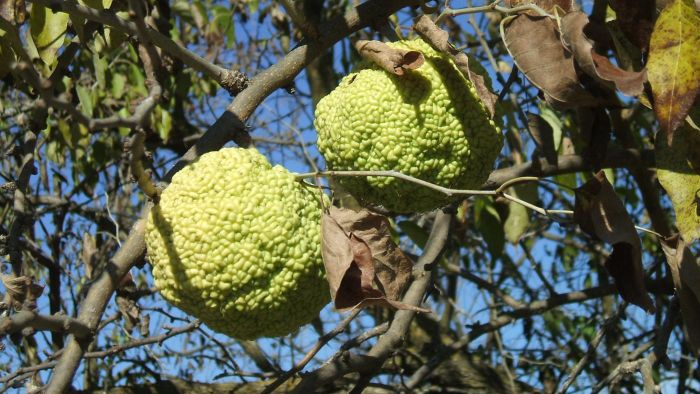 What Is a Hedge Apple?