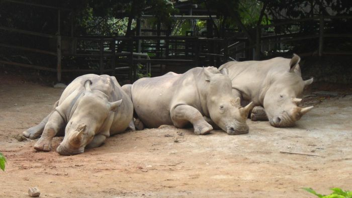 What Is a Herd of Rhinos Called?