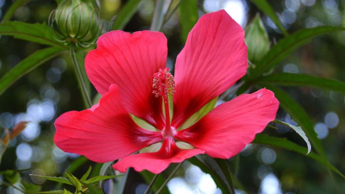 Is Hibiscus Poisonous to Cats?