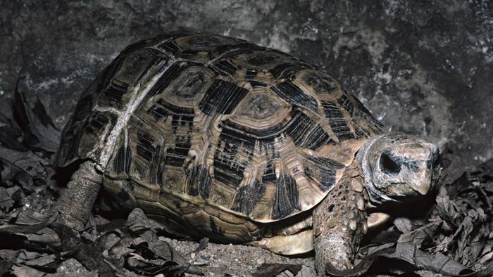 What Is a Hinge-Back Tortoise?