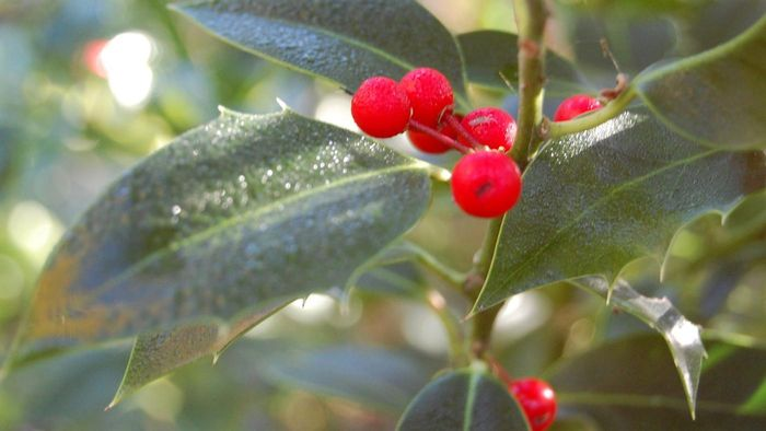 Are Holly Berries Poisonous to Dogs?