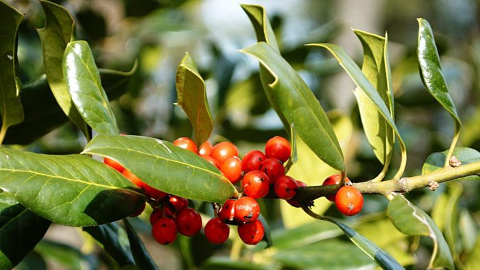 Are holly bush berries poisonous to humans?