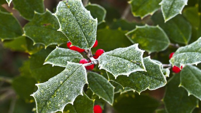 What Are Some Holly Tree Varieties?