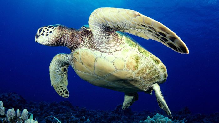 What Is the Significance of the Hawaiian Honu?