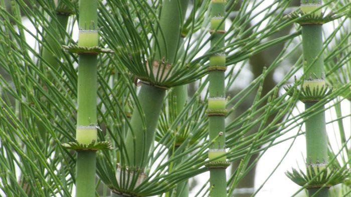 What Is the Horsetail Herb?