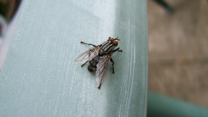 What do house flies eat?