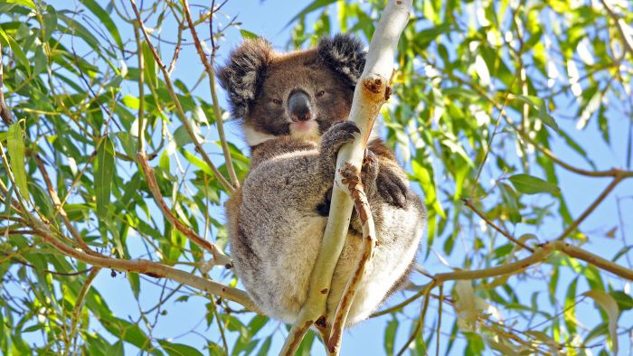 How Do Koalas Protect Themselves?