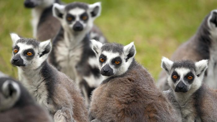How Do Lemurs Protect Themselves?