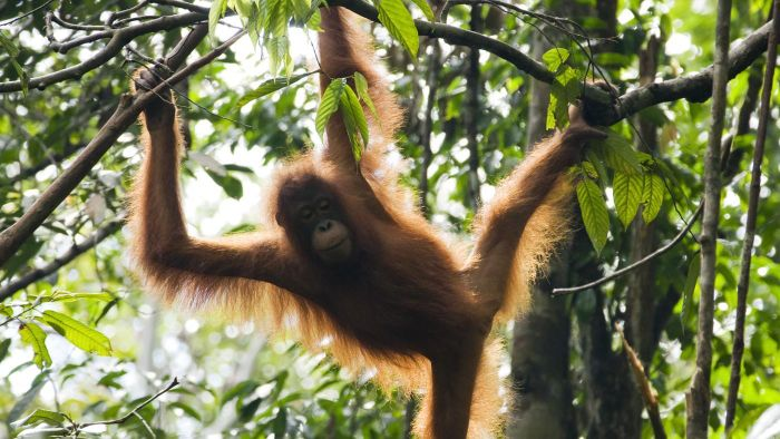 How Do Orangutans Protect Themselves?