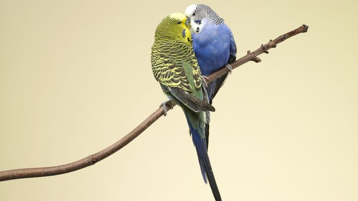 How Do Parakeets Reproduce?