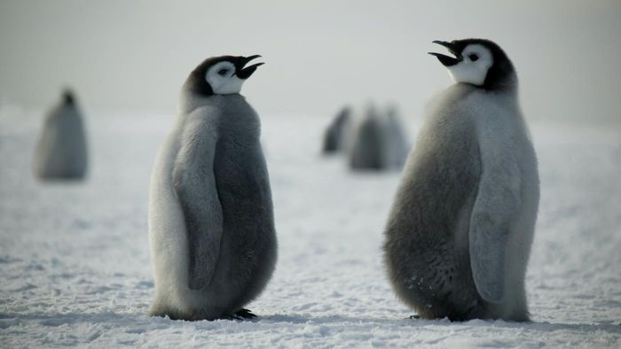 How Do Penguins Communicate?