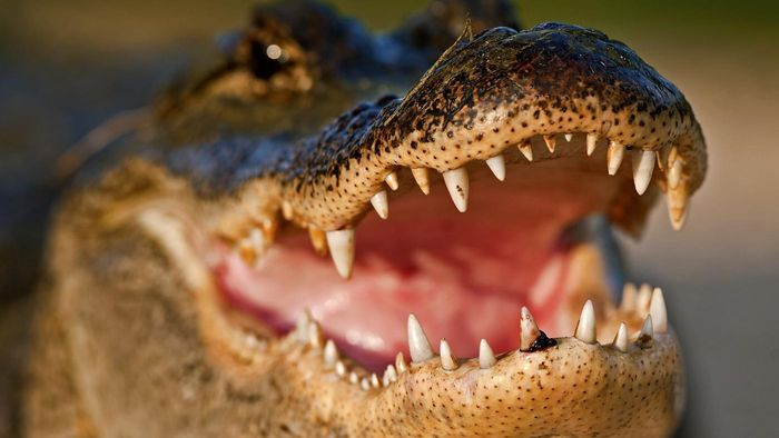 How Does an Alligator Protect Itself?