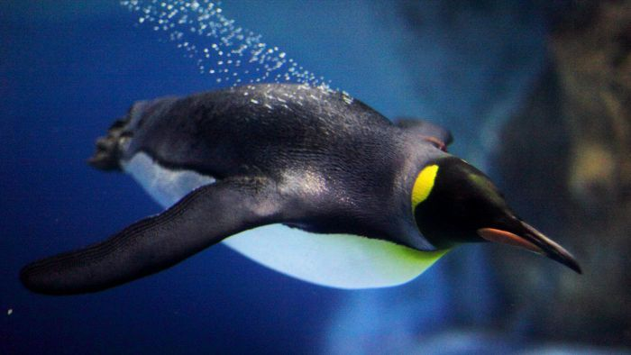 How Fast Can Penguins Swim?