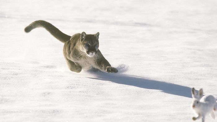 How Fast Can a Panther Run?