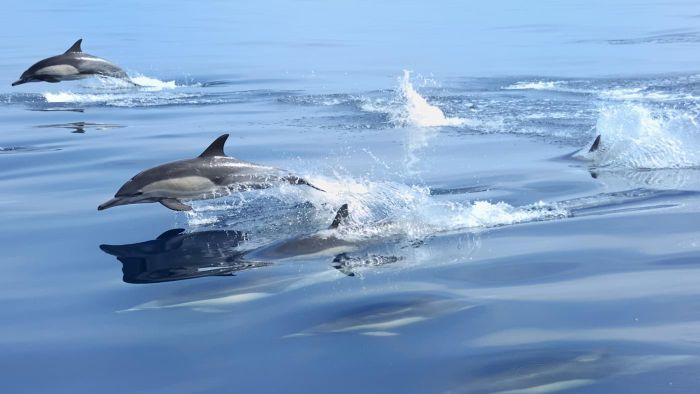 How Fast Can Dolphins Swim?