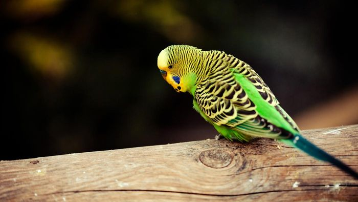 How Long Does a Parakeet Live?