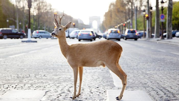 How Many Deer Are Hit by Cars Each Year?