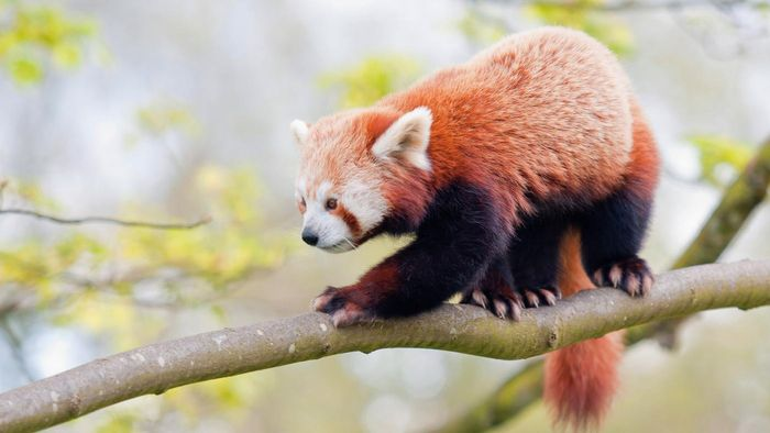 How Many Red Pandas Are Left in the World?