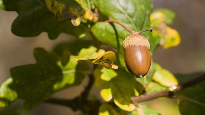 How Often Do Oak Trees Produce Acorns?
