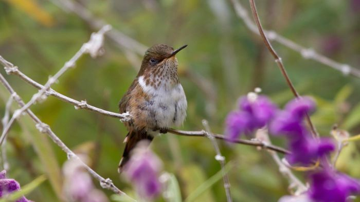 When Do Hummingbirds Migrate?