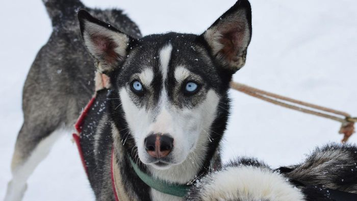 Why Do Huskies Have Blue Eyes?