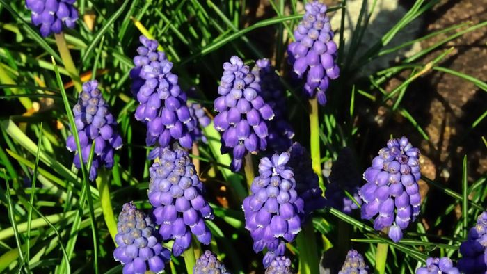 What Are Hyacinth Bulbs?