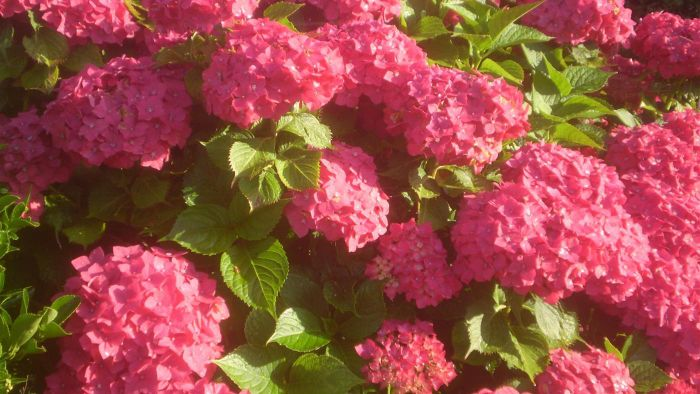 Do Hydrangeas Like Full Sun?