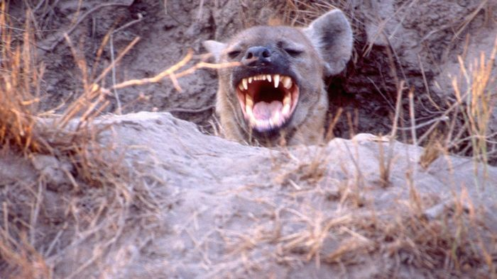 Why Do Hyenas Laugh?