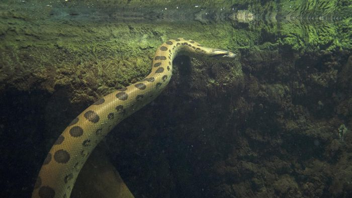 How Do You Identify the Green Anaconda?