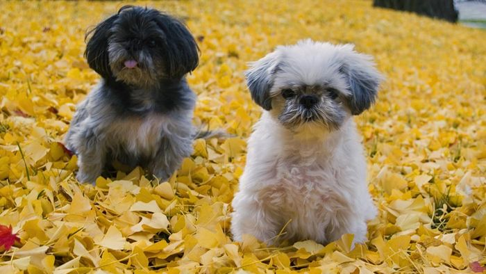 What Is an Imperial Shih Tzu?