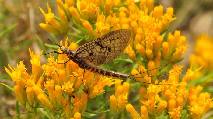 What insect has the shortest life span?