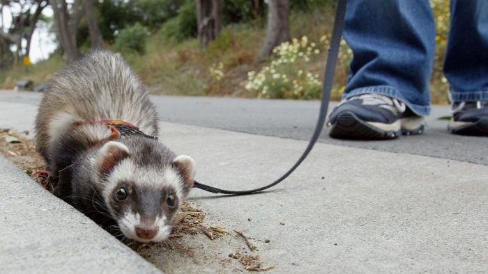 What Are Interesting Ferret Facts?