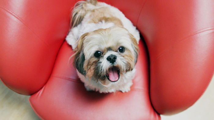 What Are Some Interesting Shih Tzu Facts?