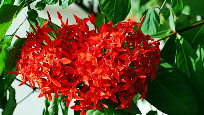What Is Ixora Plant Care?
