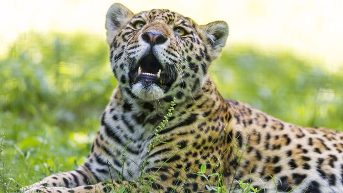 Why Is the Jaguar Endangered?