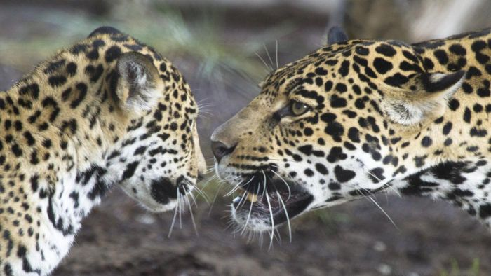 How Do Jaguars Communicate?