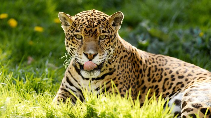 What Do Jaguars Eat >> What Do Jaguars Eat? | Reference.com