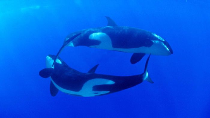 What Is the Killer Whale's Habitat?
