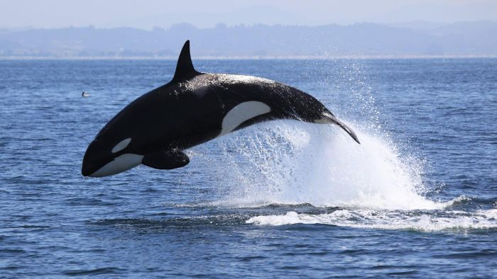 How Do Killer Whales Protect Themselves?