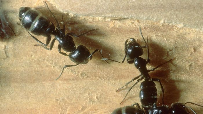 What Kind of Damage Can Carpenter Ants Do?