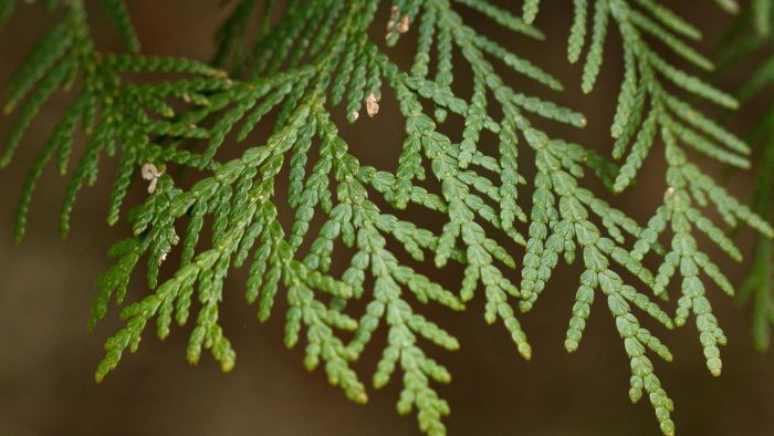 What kind of fertilizer do you use for arborvitae?