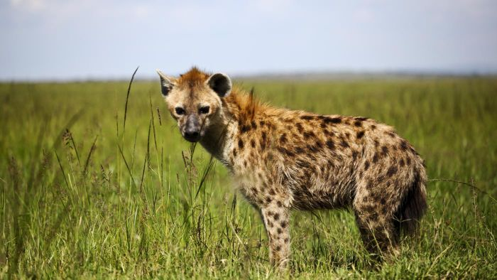 What Kind of Food Do Hyenas Eat?