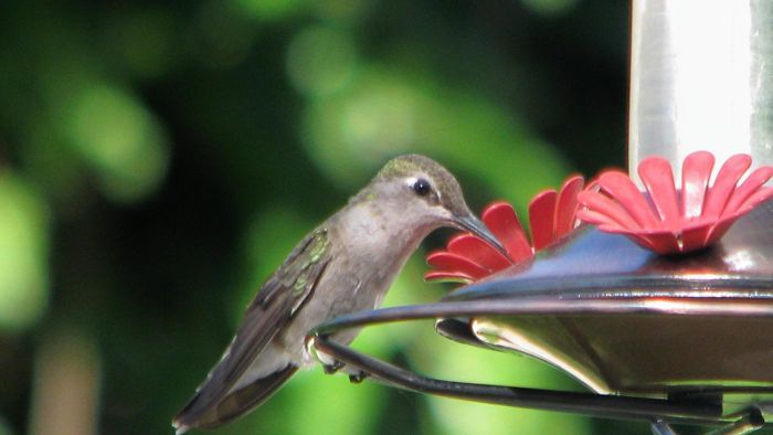 What Kind of Food Do You Put in a Hummingbird Feeder?