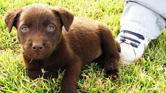 What Kind of Food Should a 6-Week-Old Lab Puppy Eat?