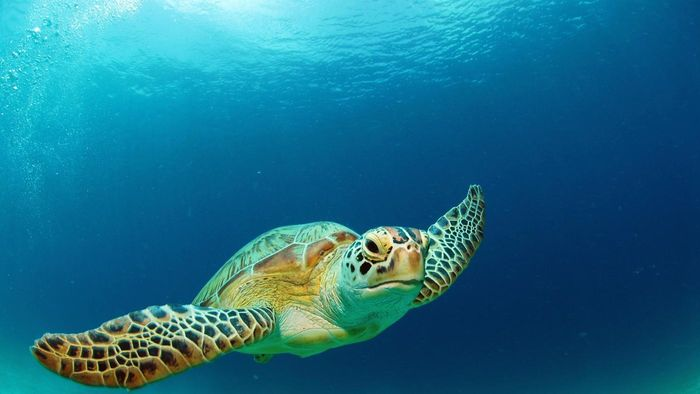 What Kind of Habitat Does the Green Sea Turtle Like?