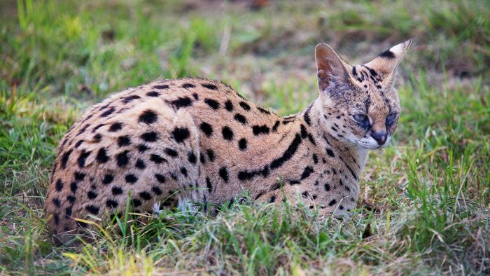 What kind of pet is a serval?