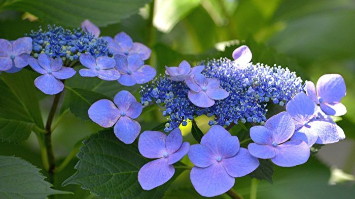What Is a Lacecap Hydrangea?