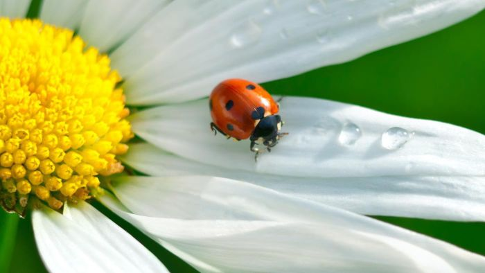 Do Ladybugs Lay Eggs or Have Live Young?